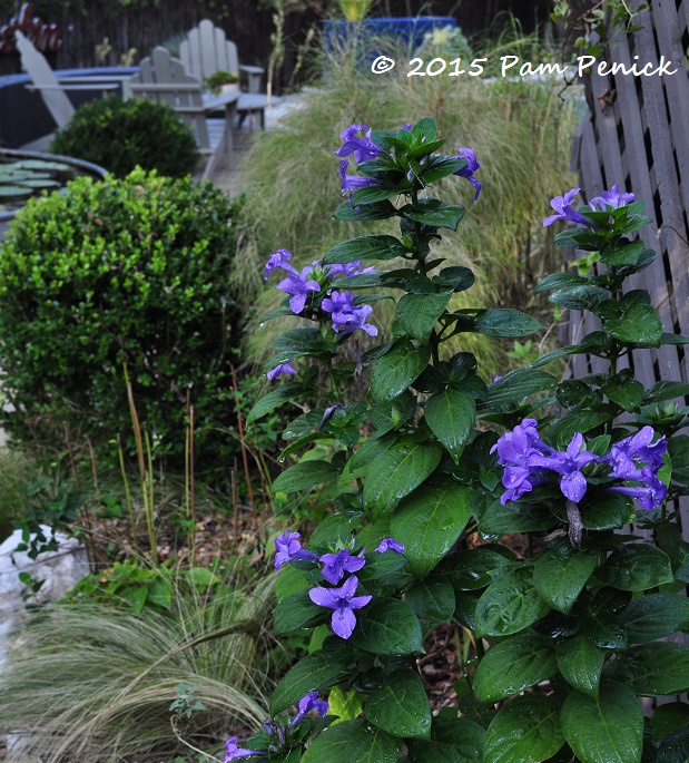 Plant this flipping for philippine violet digging - Back to the roots water garden review ...