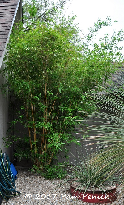 How To Prune Clumping Bamboo Digging